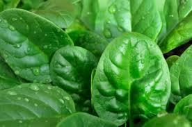 Шпинат – «король овощей», который борется с раком, но при неправильном употреблении может навредить